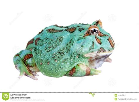 The Samurai Blue Pacman Frog Isolated On White Stock Photo